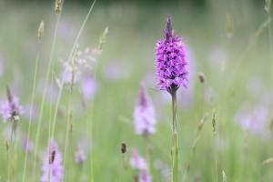 Gevlekte orchis 4